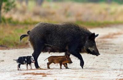usda-feral-hog1