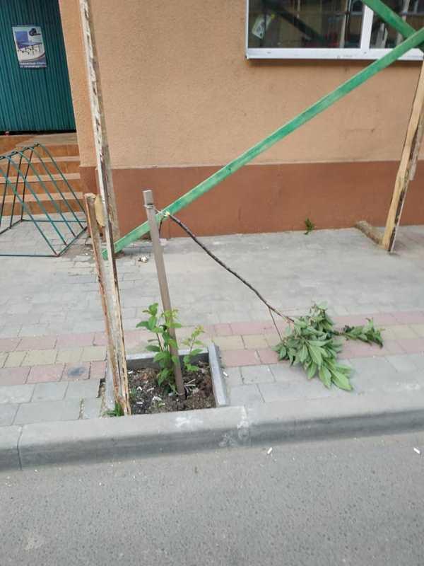 У Хусті розшукують вандалів, які понищили молоді дерева на тротуарах. ФОТО