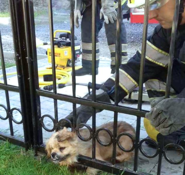 У Хусті пікінес застряг у паркані